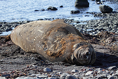 Elephant seal, Antarctica