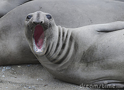 Elephant seal bellowing,piedras blancas,california
