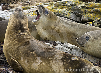Elephant Seal - Falklands