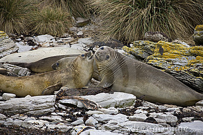 Elephant Seal - Falklands
