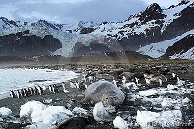 Elephant seal / Gentoo penguins