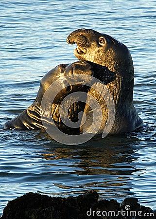 Elephant Seal Kiss