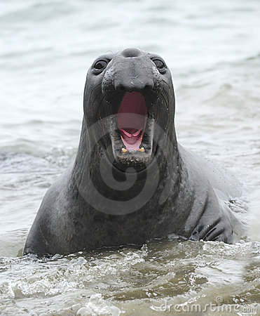 Free Elephant Seal Mouth Open Male Juvenile ,california Royalty Free Stock Photos - 15950518