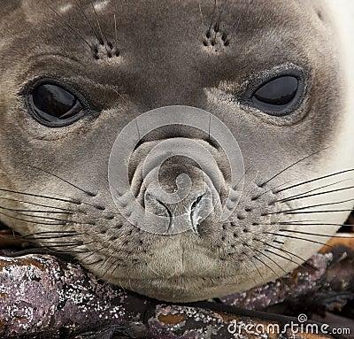 Elephant Seal Pup - Falkland Islands