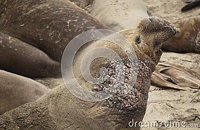 Elephant Seal sand bathing