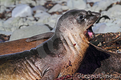 Elephant seal yawning, Antarctica
