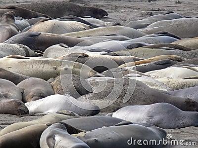 Elephant Seals 2