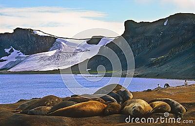 Elephant Seals, Antarctica