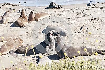Elephant seals on beach
