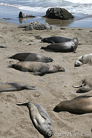 Elephant seals in California