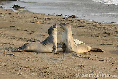 Elephant seals fighting at the beach