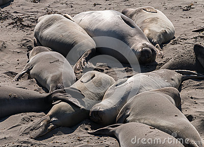 Elephant Seals relaxing on the beach