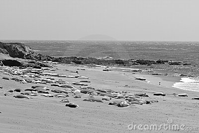 Elephant Seals sleeping in back and white