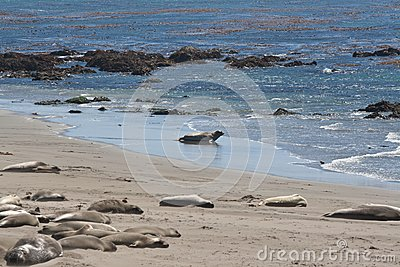 Elephant Seals sleeping and swimming