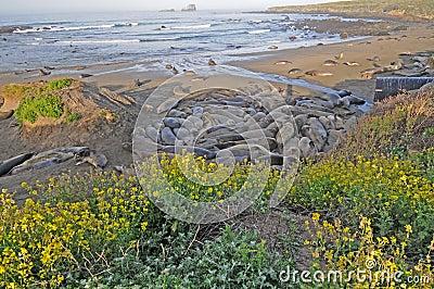 Elephant seals with wildflowers