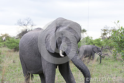 Elephant shaking head in front of the car