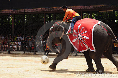 Elephant show, an elephant plays football Editorial Image