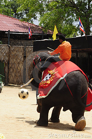 Elephant show, an elephant plays football Editorial Stock Image