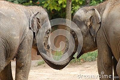 Elephant sisters
