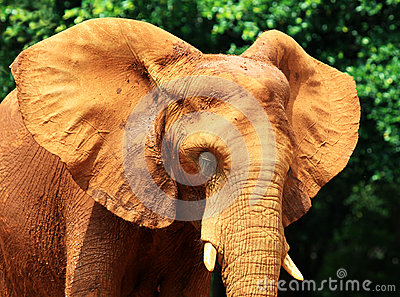 Elephant skin texture coated with red dry mud