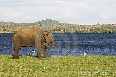 Elephant and small birds