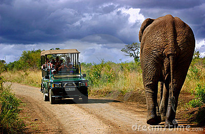 Elephant in  South Africa Editorial Stock Image