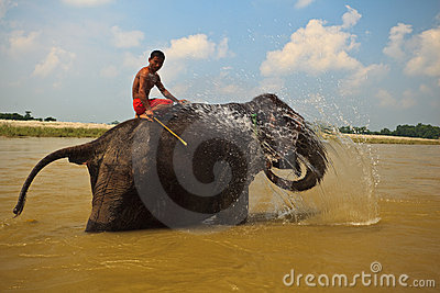 Elephant Squirting Water in River in Nepal Editorial Image