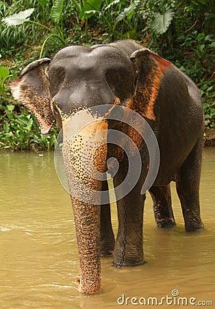 Elephant, Sri Lanka
