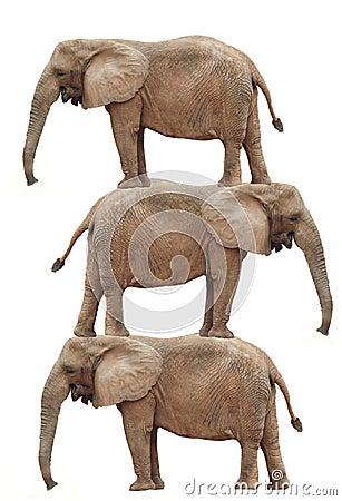Elephant Stack: Elephant balancing act