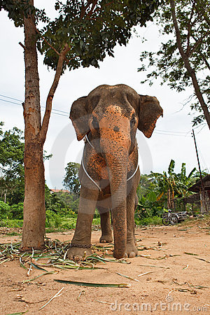 Elephant standing below the tree in backyard