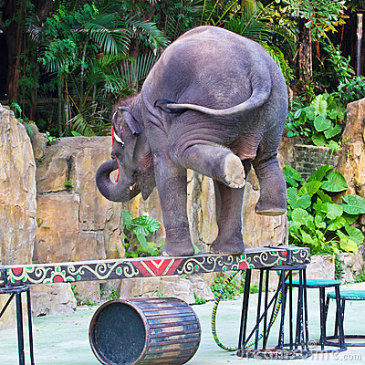Elephant stands on the balance beam