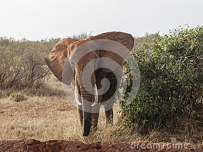 Elephant staring at the camera in Kenya