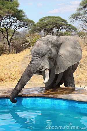 Elephant stealing water from swimming pool