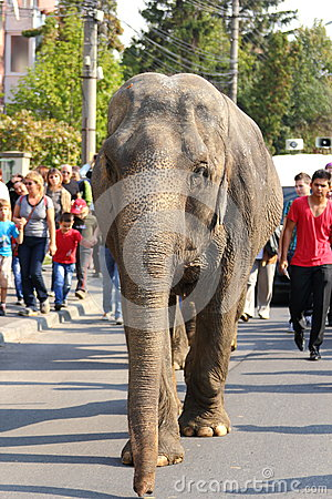 Elephant in the street Editorial Photography