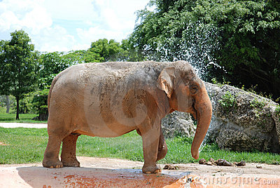 Elephant Taking a Bath
