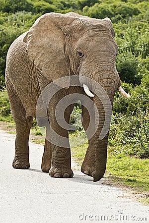 Elephant on a tar road