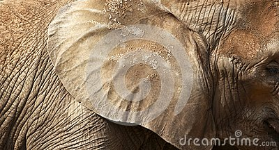 Elephant texture