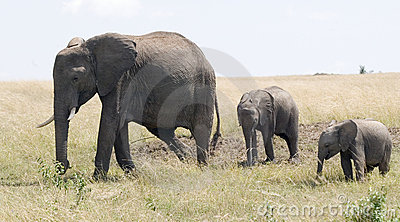 Elephant and two calves