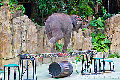 Elephant walk on the balance beam