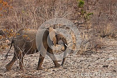 Elephant walking  Between the bushes