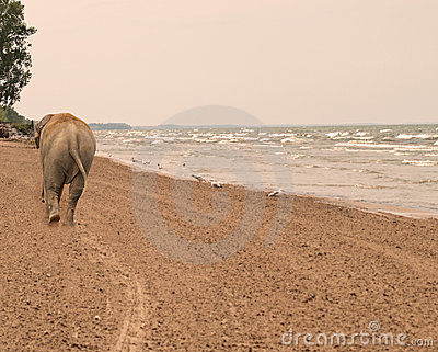 Elephant walking down a beach
