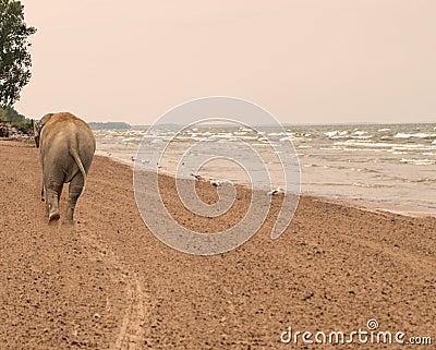 Elephant walking down a beach