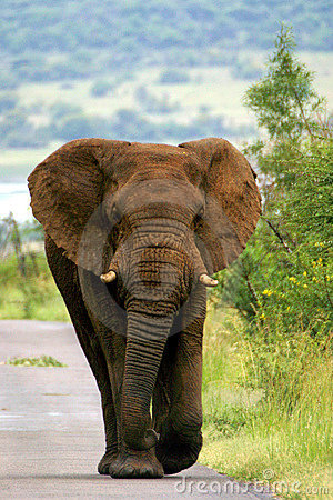 Elephant walking down road