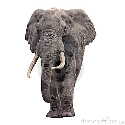 Free Elephant Walking Front View Stock Images - 17478924