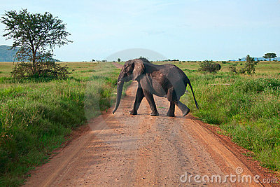 Elephant walking on a road