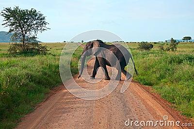 Elephant walking on a road