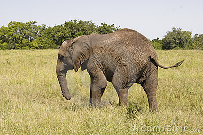 Elephant walking in the savannah
