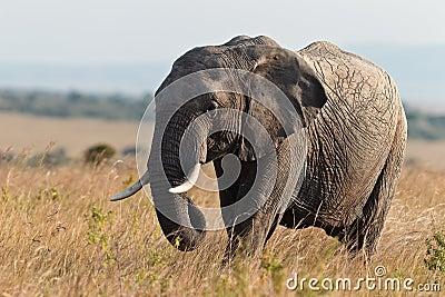 Elephant walking on the savannah