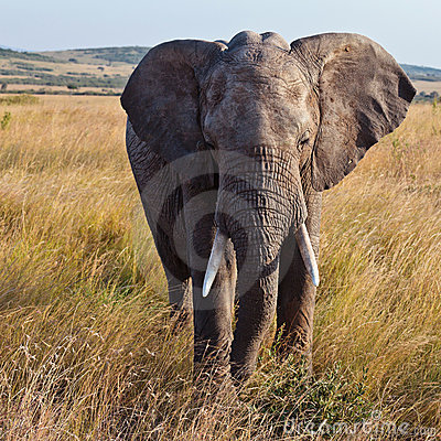 Elephant walking on the savannah