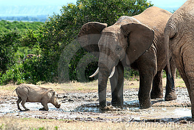 Elephant and warthog